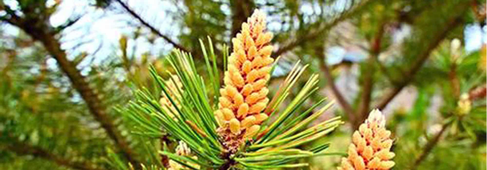 pine pollen megadose, Pine Pollen Powder