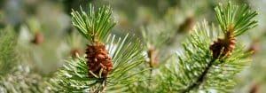Pine Pollen Megadose order here