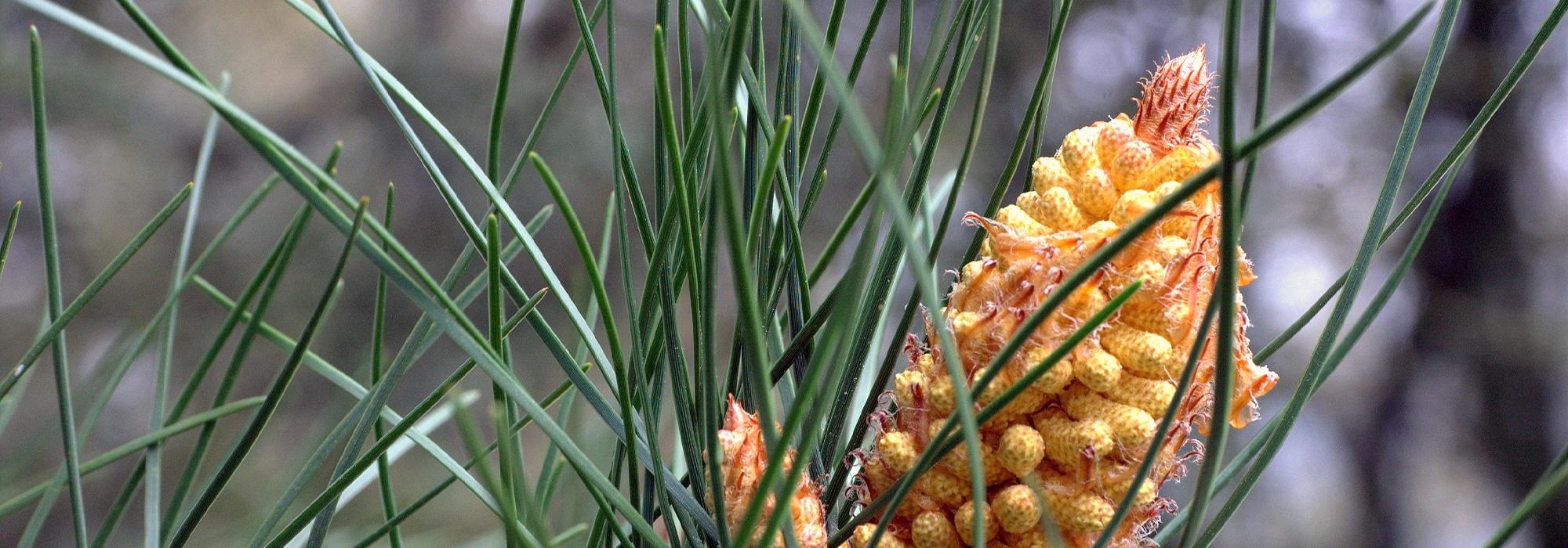Pine Pollen buy here